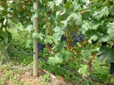 T9928. Well established vineyard in El Sauzal