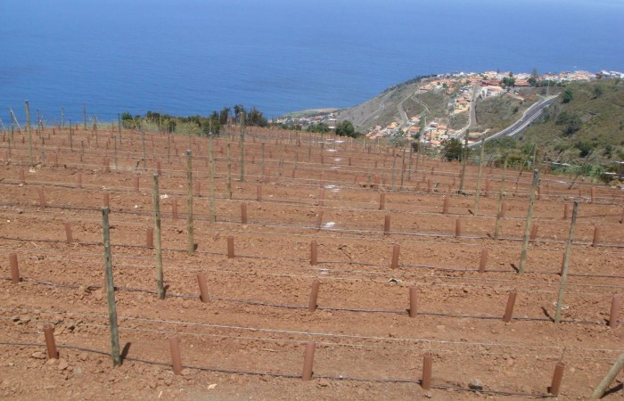 T9928. Well established vineyard in El Sauzal.